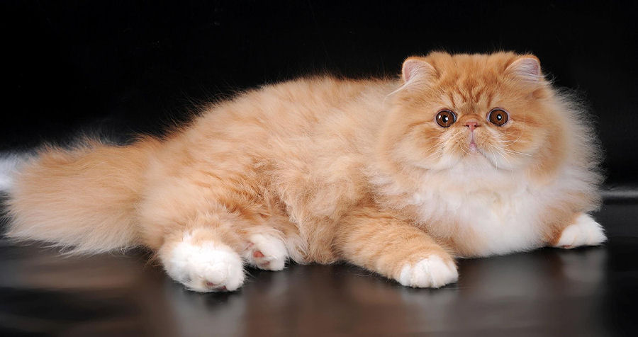 Exsonic Exotic and Persian Cats And Kittens For Breeders, Showing